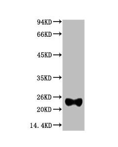 Western blot analysis of Reduced Rabbit IgG, H+L, diluted at 1:10000.