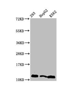 Western Blot Positive WB detected in:293 whole cell lysate,HepG2 whole cell lysate,K562 whole cell lysate(treated by 30mM sodium butyrate for 4h) All lanes:HIST1H4A antibody at 2.2