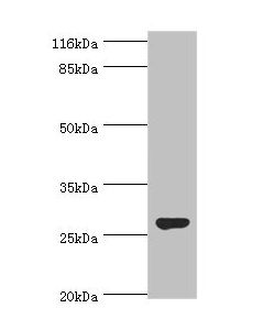 Western blot All lanes:Izumo sperm-egg fusion protein 4 antibody at 2ug/ml+rat gonad tissue Secondary Goat polyclonal to rabbit at 1/10000 dilution Predicted band size: 27,25,18,19 kDa Observed band size: 27 kDa