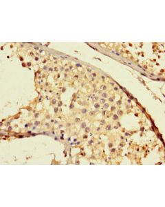 Immunohistochemistry of paraffin-embedded CSB-PA751092LA01HU using human testis tissue at dilution 1:100