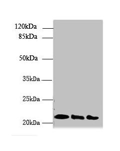 Western blot All lanes: ARL8B antibody at 4ug/ml Lane 1 : Mouse brain tissue Lane 2 : NIH/3T3 whole cell lysate Lane 3 : Jurkat whole cell lysate Secondary Goat polyclonal to Rabbit IgG at 1/10000 dilution Predicted band size: 22,19 kDa Observed band size: 22 kDa