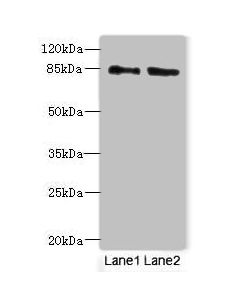 Western blot All lanes: HOOK1 antibody at 4ug/ml Lane 1 : 293T whole cell lysate Lane 2 : MCF7 whole cell lysate Secondary Goat polyclonal to Rabbit IgG at 1/10000 dilution Predicted band size: 85,81 kDa Observed band size: 85 kDa