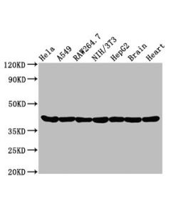 Western Blot Positive WB detected in:Hela whole cell lysate,A549 whole cell lysate,Raw264.7 whole cell lysate,NIH/3T3 whole cell lysate,HepG2 whole cell lysate,Rat brain tissue,Rat heart tissue All lanes:Actin antibody at 0.95