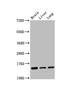 Western Blot Positive WB detected in:Mouse brain tissue,Rat liver tissue,Rat lung tissue All lanes:Histone H2B type 1-K antibody at 0.16