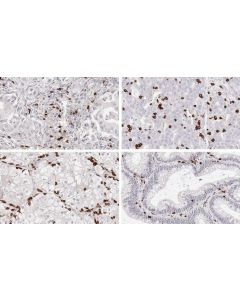 Anti-CD8 Mouse monoclonal anti-T cell marker (cytotoxic T cells) Clone TC8